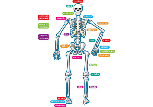 Teacher Created Resources Human Skeleton Magnetic Accents