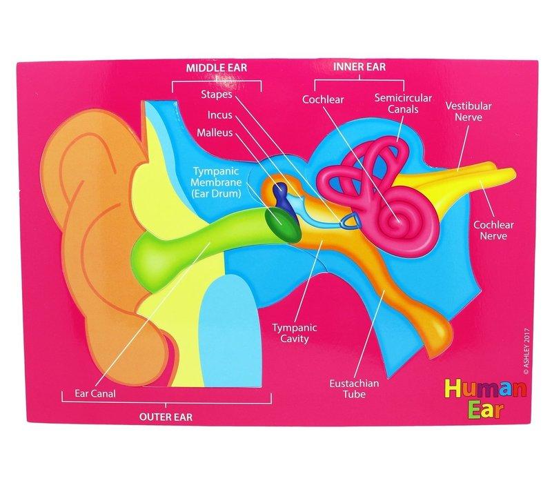 Foam Manipulatives Human Ear Puzzle