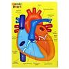 ASHLEY PRODUCTIONS Foam Manipulatives Human Heart Puzzle *
