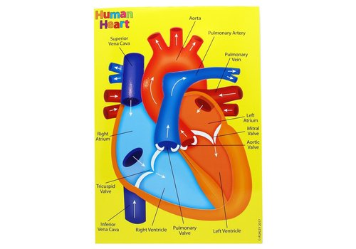 ASHLEY PRODUCTIONS Foam Manipulatives Human Heart Puzzle *