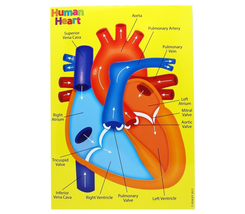 Foam Manipulatives Human Heart Puzzle *