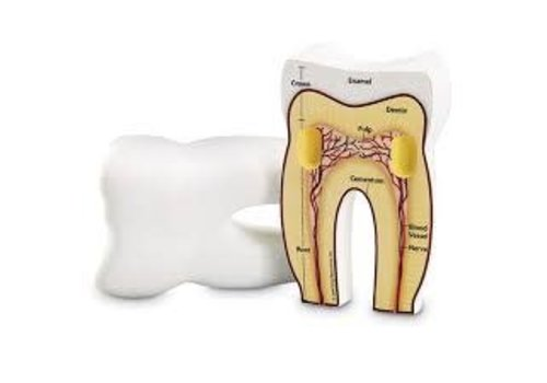 Learning Resources Cross-Section Tooth Model