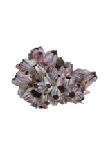 Purple Barnacle