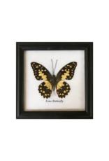 Framed Specimen Butterfly