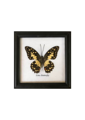 Framed Specimen Butterfly