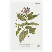 Framed Print on Rag Paper: Quiscalis Spinosa