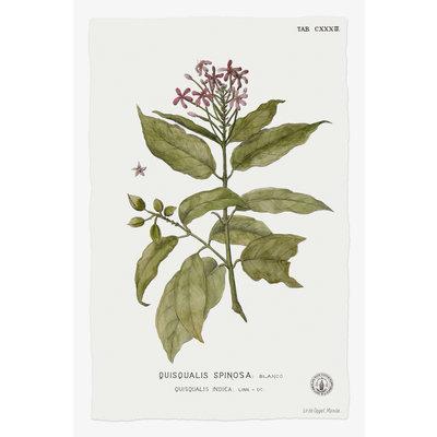 Framed Print on Rag Paper: Quiscalis Spinosa Botanical Print