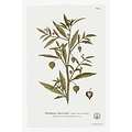 The Picturalist Framed Print on Rag Paper: Physalis Angulata