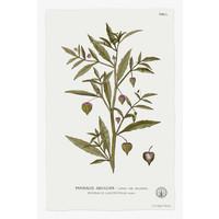 Framed Print on Rag Paper: Physalis Angulata