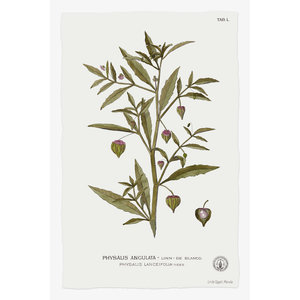 Framed Print on Rag Paper Physalis Angulata