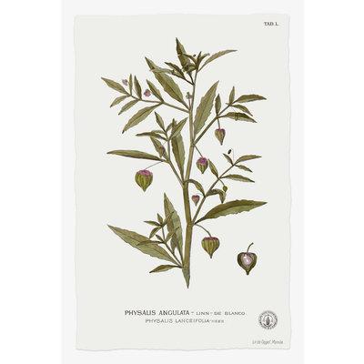 Framed Print on Rag Paper: Physalis Angulata Botanical Print