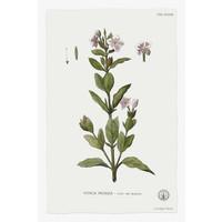 Framed Print on Rag Paper: Vinca Rosea