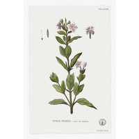 The Picturalist Framed Print on Rag Paper: Vinca Rosea