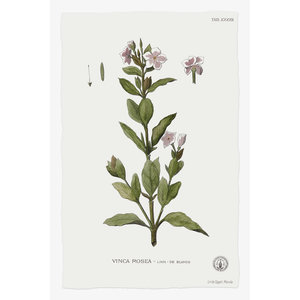 Framed Print on Rag Paper Vinca Rosea