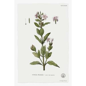 Print on Paper US250 - Vinca Rosea