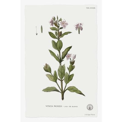 Framed Print on Rag Paper: Vinca Rosea Botanical Print
