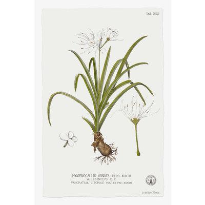 Framed Print on Rag Paper: Hymenocalis Botanical Print