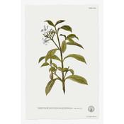 Tabernae Montana Botanical Print