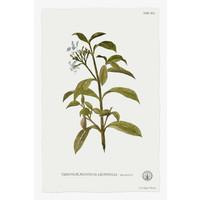 Framed Print on Rag Paper: Tabernae Montana