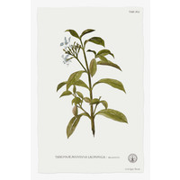 The Picturalist Framed Print on Rag Paper: Tabernae Montana
