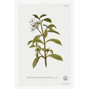 Framed Print on Rag Paper Tabernae Montana