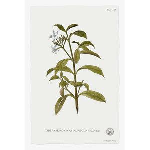 Print on Paper US250 - Tabernae Montana