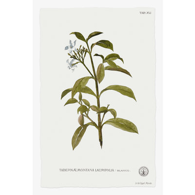 Framed Print on Rag Paper: Tabernae Montana Botanical Print
