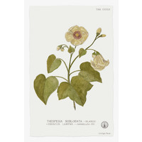 Framed Print on Rag Paper: Thespesia