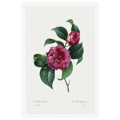 The Picturalist Framed Print on Rag Paper: Camelia Panachee by Redoute