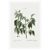 The Picturalist Framed Print on Rag Paper: Celtis Occidentalis Botanical Print