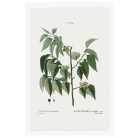 The Picturalist Framed Print on Rag Paper: Celtis Occidentalis