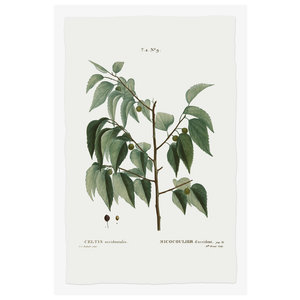 Framed Print on Rag Paper: Celtis Occidentalis