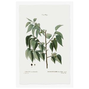 Print on Paper US250 - Celtis Occidentalis