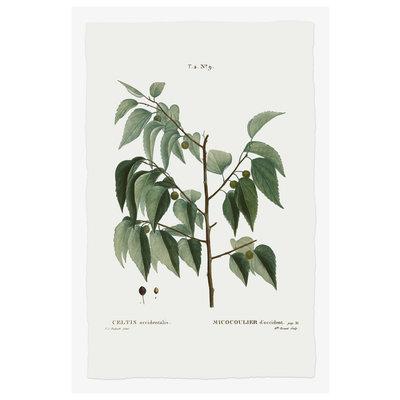 Framed Print on Rag Paper Celtis Occidentalis Botanical Print