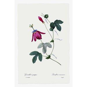 Print on Paper US250 - Passiflora Racimosa