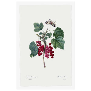 Print on Paper US250 - Ribes Rubrum Red Currant