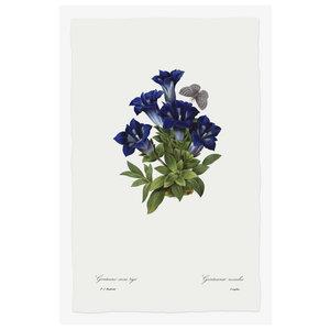 Print on Paper US250 - Gentianae Acaulis