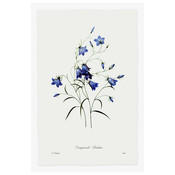 The Picturalist Framed Print on Rag Paper: Blue Campanula Clochette Botanicals by Pierre Georges Redoute
