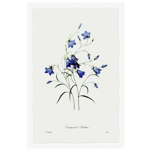 Framed Print on Rag Paper Blue Campanula Clochette