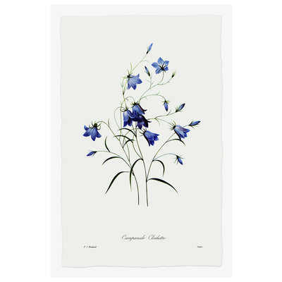 Framed Print on Rag Paper: Blue Campanula Clochette Botanicals by Pierre Georges Redoute