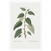 Framed Print on Rag Paper: Balsamifera Populus Botanical Print