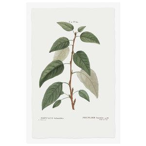 Framed Print on Rag Paper: Balsamifera Populus