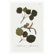 Framed Print on Rag Paper: Populus Tremula Botanical Print