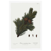 Framed Print on Rag Paper: Pine Tree Montana Botanical Series 1