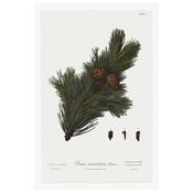 Print on Paper US250 - Pine Tree Montana Botanical Series 1