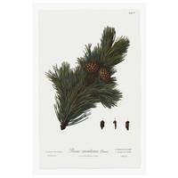 Framed Print on Rag Paper: Pine Tree Montana Botanical Series 1