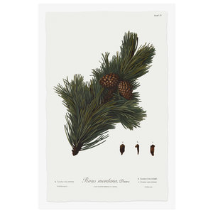 Framed Print on Rag Paper Pine Tree Montana Botanical Series 1