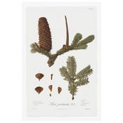 Framed Print on Rag Paper: Pine Tree Abies Botanical Series 2