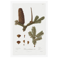 Framed Print on Rag Paper: Pine Tree Abies