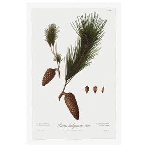Framed Print on Rag Paper Pine Tree Halepensis